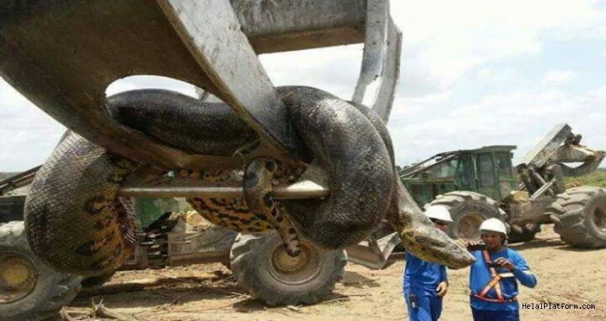 Brezilya'da şantiye işçileri 10 metrelik anakonda yakaladı