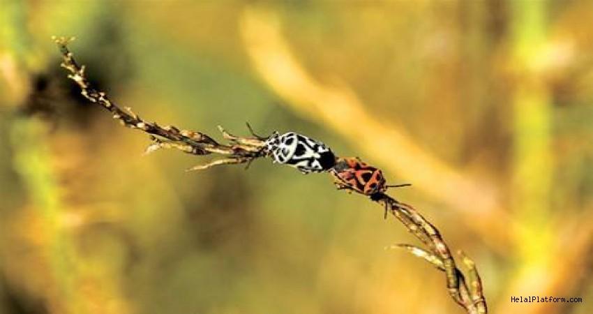 Şellak böceği nedir? Gıdalarda ne amaçla kullanılıyor?