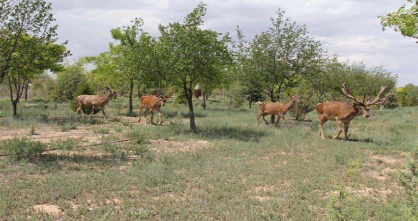 Torku, kızıl geyiklere yaşam alanı açtı